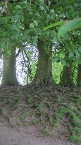 Tolkein's beech trees.